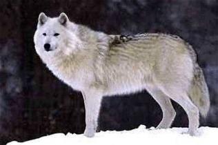 Banken Island Tundra Wolf